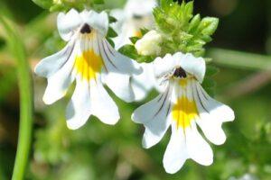 1357762631_Euphrasia-Officinalis