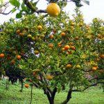 El Limón y sus propiedades curativas y beneficiosas para la salud