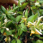 Madreselva, flor de primavera