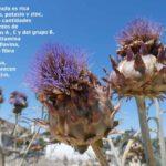 Propiedades depurativas de la alcachofa planta medicinal