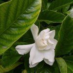 Gardenia, esencia floral de California